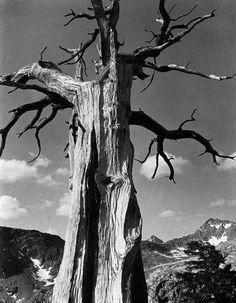 Ansel Adams, Juniper Tree (Sierra Nevada), 1938, always makes me think of my gramps  the great times we had hiking  backpacking!