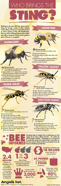 infographic, honeybees, colony collapse disorder, angle's list, pollinator, hornets, wasps, honey bees, bees, reader submitted content, agriculture, food supply, bee stings, honeybee populations, pollination