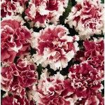 PETUNIA DOUBLE CASCADE RED PIROUETTE