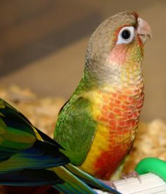 Conure parrot.  I had one for a while.  He was quite affectionate, but they have a grooming instinct & he kept trying to remove all my freckles...