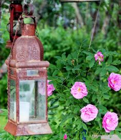 Pikkutalon elämää: Köynnösruusu kukkii