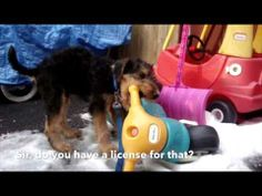 Cute Airedale Terrier Week In Review! - http://www.baubaunews.com/bau-blog/cute-airedale-terrier-week-in-review/ http://www.baubaunews.com/wp-includes/images/smilies/icon_smile.gif