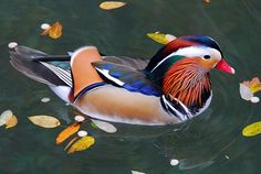 Mandarin duck drake - beautiful little things.