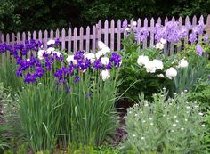 The long purple flowers of wisteria garden plants are the stuff garden dreams. A member of the pea family, Wisteria garden plants are deciduous climbers. Garden Web, Iris Garden, Garden Plants, Garden Design, Fence Design, House Plants, Landscape Design, Balcony Flowers, Outdoor Flowers