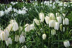 Buy white-flowered snake's head fritillary bulbs Fritillaria meleagris var. 'unicolor subvar. alba': Delivery by Crocus