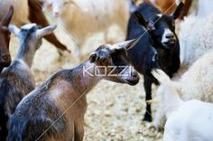 herd of goats on display - Herd of goats showcase at fair