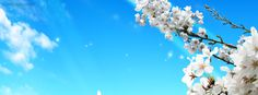 White Cherry Blossoms  Facebook Cover CoverLayout.com