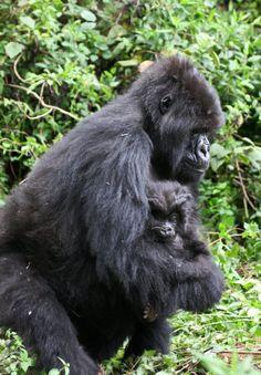 Mother & baby gorilla