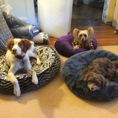 3 'angels' learning to STAY on Puppy Hugger dog beds!! Chinese crested, brittany spaniel & choc havanese