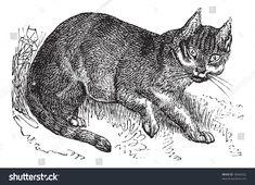 Wildcat or Felis silvestris, vintage engraving. Old engraved illustration of a Wildcat. Trousset encyclopedia. #Ad , #Ad, #silvestris#vintage#Wildcat#Felis