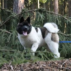 Akitas...... The best dogs ever❤️❤️❤️❤️