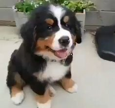 The place for Bernese mountain dog, the Bernese mountain dog adoption, expert the Bernese mountain dog advice. Cute Funny Dogs, Cute Funny Animals, Funny Pugs, Pet Dogs, Dogs And Puppies, Burmese Mountain Dogs, Super Cute Puppies, Cute Animal Photos, Cute Little Animals