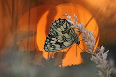 This butterfly was photographed by Melanargia Galathea. Sunset in Southern Poland.