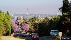 Static scenic timelapse early morning of busy road during peak traffic in Pretoria city centre, South Africa, with blooming jacaranda trees in golden sunlight 25p. #TLSA #wedoallthingstimelapse #stock #stockfootage #timelapse #southafrica Jacaranda Trees, City Scene, Pretoria, Early Morning, Stock Video, High Quality Images, Stock Footage, Sunlight, South Africa