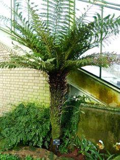 http://jungletropicale.com/2012/09/dicksonia-fibrosa/    #jardinage     Cliquer l'image pour lire l'article.
