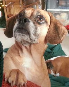 """""""This is a photo of my Sister's dog Miley!! She is a six year old Puggle who won her way into the heart of my Sister when she found out she was homeless! My Sister has been there for me through thick and thin and has not been able to get away with her husband alone on a vacation since their honeymoon. That was 20 years ago! I want to win the Pet Photo contest for them!!!"""" #ElPortalSedona #SedonaGetaway #petphotocontest"""