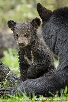 Black bears by Charles Glatzer on 500px