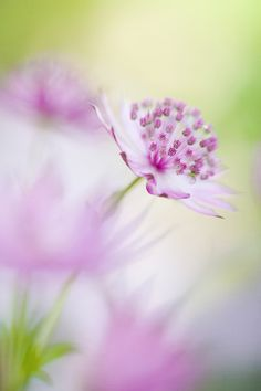 Astrantia Major 'Roma' spring, nature, macro, flower, close-up, creative, art, pink, garden, flora, major, soft-focus, Roma, Astrantia, Masterwort