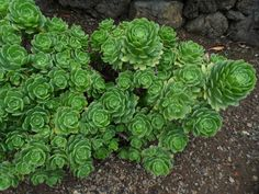 Aeonium castello-paivae is a succulent plant with rosettes of green leaves with pink margins when grown in full sun, forming compact clumps. Types Of Succulents Plants, Hanging Succulents, Jade Plants, Succulents In Containers, Container Flowers, Container Plants, Potted Plants, Succulent Gardening, Container Gardening Vegetables