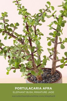 """Portulacaria afra """"Elephant Bush"""" is a large, bushing succulent with woody stems that can grow to incredible heights when given the proper time, nutrients, and growing conditions. It can also be used in hanging baskets to add some """"spiller."""" #succulents #succulentsandsunshine #portulacariaafra #elephantbush #miniaturejade #succulentinfo #succulentcare"""