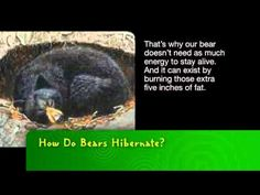 youtube video about bears hibernating