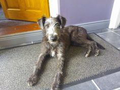 bedlington terrier cross whippet