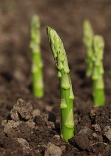 Just About Everything About Asparagus asparagus plants growing through the garden soilYou CAN grow asparagus…no matter where you live! We have heard from gardeners who grow this perennial vegetable in just about every state, from Florida to Alaska.