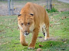 Going to the Big Cat Habitat in Sarasota to visit Brutus the 3 year old Liger