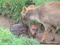 Pudú. Son los más pequeños de la familia de los ciervos. Viven en zonas boscosas del sur de Chile y Argentina. Es una especia amenazada de extinción. Fauna de la Reserva Biológica Huilo Huilo