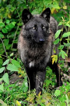 ☀ Black Wolf (by Eve'sNature)