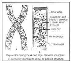 Image result for labelled diagram of a spirogyra cell projects to spirogyra life cycle of spirogyra and germination of zygospore ccuart Images