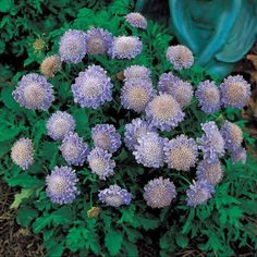 Top 10 Flowers That Bloom all Year -  Blue Pincushion Flower  It is recommended that the pincushion is planted in the middle of summer to the beginning of autumn. The light shade and full sun are both o.k. It grows up to 14 inches with long green stalks and purple flowers.