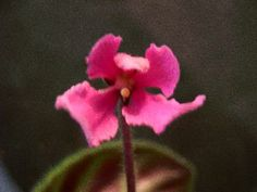 Lady Mounbattan -(Dates) Pink double wasp blooms over tailored foliage. Махровые розовые осы.
