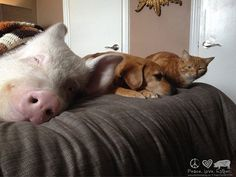 This Couple Thought They'd Adopted a Mini Pig—But It Turned Out to Be a 650 Pound Porker - Esther the Wonder Pig - Country Living