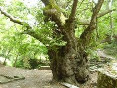 Argiropoulis, 2000 jaar oude plataan.