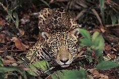 Onça-pintada, Reserva Ducke, no Amazonas. Araquém Alcântara.