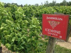 INNISKILLIN #Niagara #vignobles #vin #Wine #Vineyards
