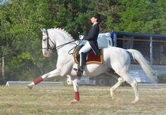 Now that's a horse! Lipizzan love! Maestoso Incitato