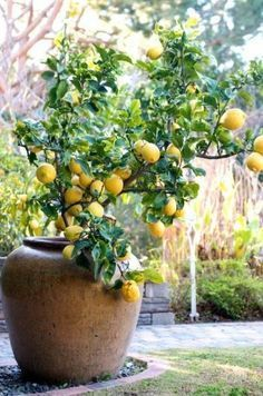 How to grow a lemon tree in a container More Gardens Ideas, Container Gardens, Decor Ideas, Arizona Backyard Ideas, Posts, Backyard Decor, Citrus Trees, Lemon Trees, French Inspiration Container grown lemon tree: 'Eureka.' Lemons work well in container gardens, but if you live in Zone 7B, like me, you will have to bring them indoors for the winter. Some great container tips for citrus trees at the link. Our French Inspired Home: French Style Landscaping: Potted Plants