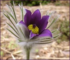 Pasque Flower (Anemone Pulsatilla Vulgaris Violet ) - A hardy and easy-to-grow plant from flower seeds, Pasque Flower blooms come in shades of light violet with yellow stamens. Use as a single specime Beautiful Flower Arrangements, Unique Flowers, Beautiful Flowers, South Dakota Travel, South Dakota State, Anemone Flower, My Flower, Flowers Perennials, Planting Flowers