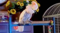 Hilarious! A Moluccan cockatoo named Peaches is prone to mimicking the marital spats of her previous owners, who were evidently spent a lot of time...