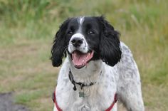 A black and white Springer Spaniel called Milo went missing from Christmas Common in Watlington, Oxfordshire on 10/1/17. He is microchipped and was wearing a collar and tags. Please contact us with any info.
