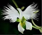 https://www.nboempire.com/products/100-radiata-seeds-japan-egret-rare-orchids-orchid-seeds-around-the-world-white-orchid-flower-gardens-planted/
