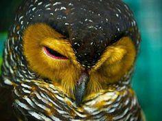 Snoozing owl