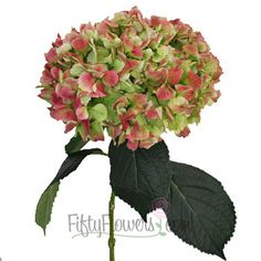 FiftyFlowers.com - Antique Green Red Hydrangea Extra Large