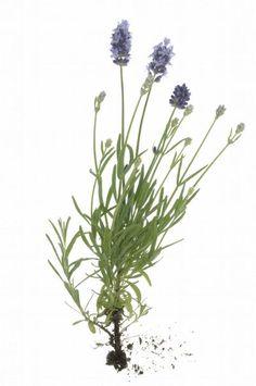 Lavandula or Lavender Plant, Lavendula,