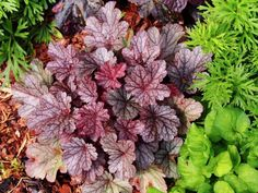 Check out these 17 easy to grow perennials for your garden. Flowering plants which need very little attention and give you a blossoming backyard. Hardy Perennials, Flowers Perennials, Planting Flowers, Hardy Plants, Coral Bells Plant, Tall Plants, Flowering Plants, Shade Flowers, Garden Nursery