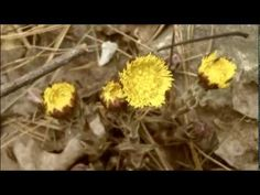 http://feelgoodtime.net/what-is-coltsfoot-tussilago-farfara-herb/ - for more info    *IGNORE TAGS*  coltsfoot,  tussilago farfara,   coltsfoot herb,  coltsfoot tea,  coltsfoot leaf,   coltsfoot flower,   coltsfoot extract,  coltsfoot tussilago farfara,