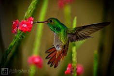Hovering hummingbird, Costa Rica, by Dirk Beckers