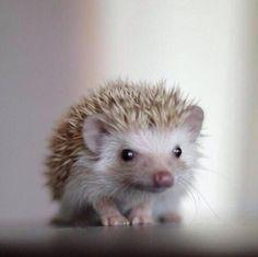 Cute Hedgehog♡